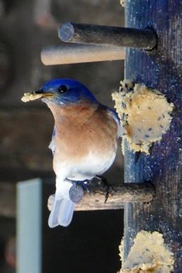 IABV bird 2