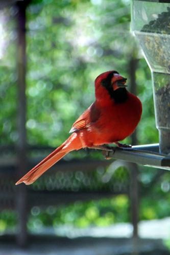 IABV bird 4