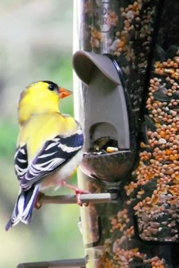 IABV bird 5
