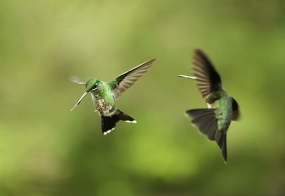 Hummingbirds Fighting