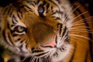 tiger-498543_1920